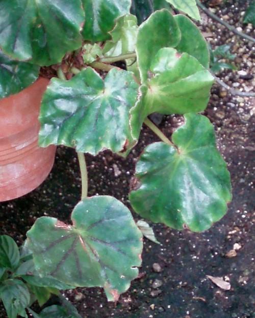Begonia pinetorum 39468571844_6d92cbf443_o