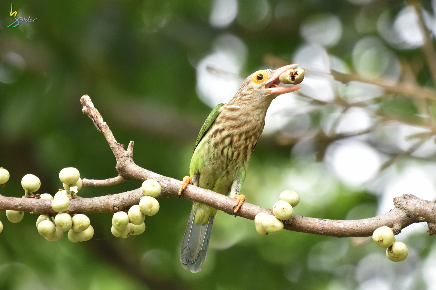 Lineat_Barbet_1828
