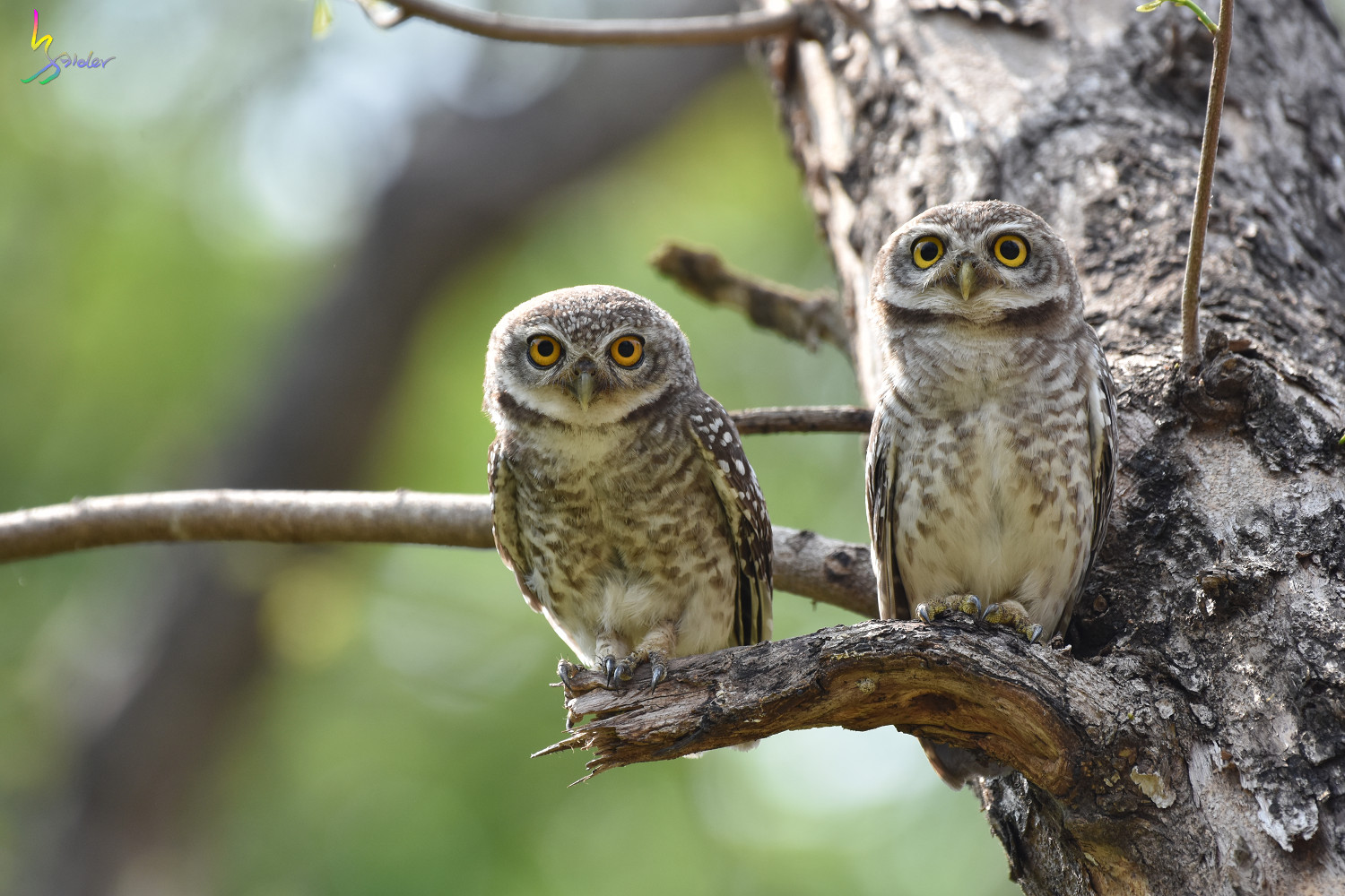 Spotted_Owlet_4638
