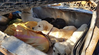 "January 17, 2018 Update - Busan KAPCA closes down ""meat dog"" farm and rescues 27 dogs in Yangsan"