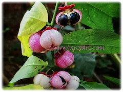 Fruits of Sauropus androgynus (Star Gooseberry, Sweet Leaf Bush, Sabah Vegetable, Katuk, Sayur Manis in Malay) with numerous black seeds, March 6 2018