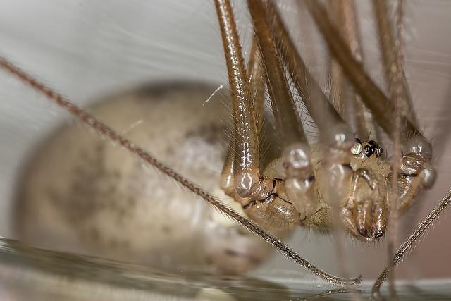 55/365  Cellar spider?