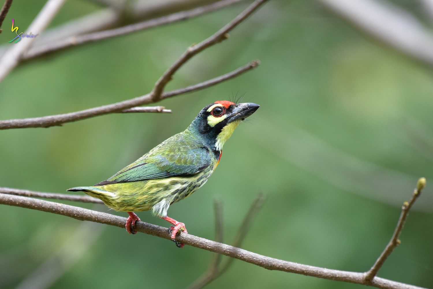 Coppersmith_Barbet_8552