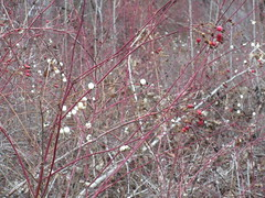 A thicket of berries