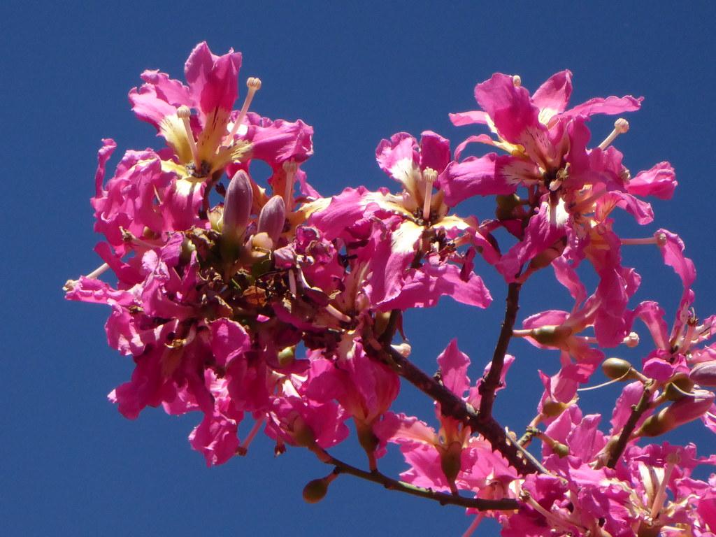 Florettseidenbaum (Ceiba speciosa); Monchique, Algarve (53)