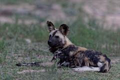 African Wild Dog - Lycaon