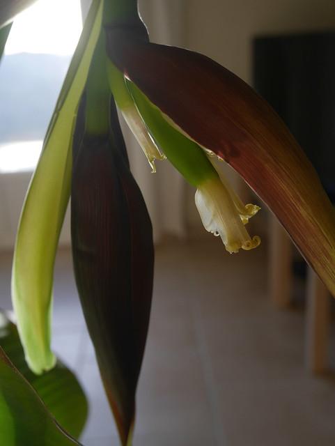 Musa acuminata 'Dwarf Cavendish' 25884472048_6d16f8111e_z