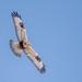 Rough-legged Hawk by Glenn R Parker