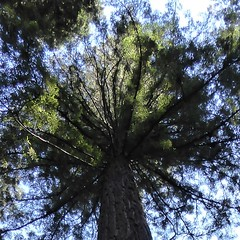 Marin County, CA, Muir Woods National Monument, Redwood Tree