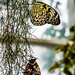 Tree Nymph Butterfly RHS Wisley 08 February 2018 (28)