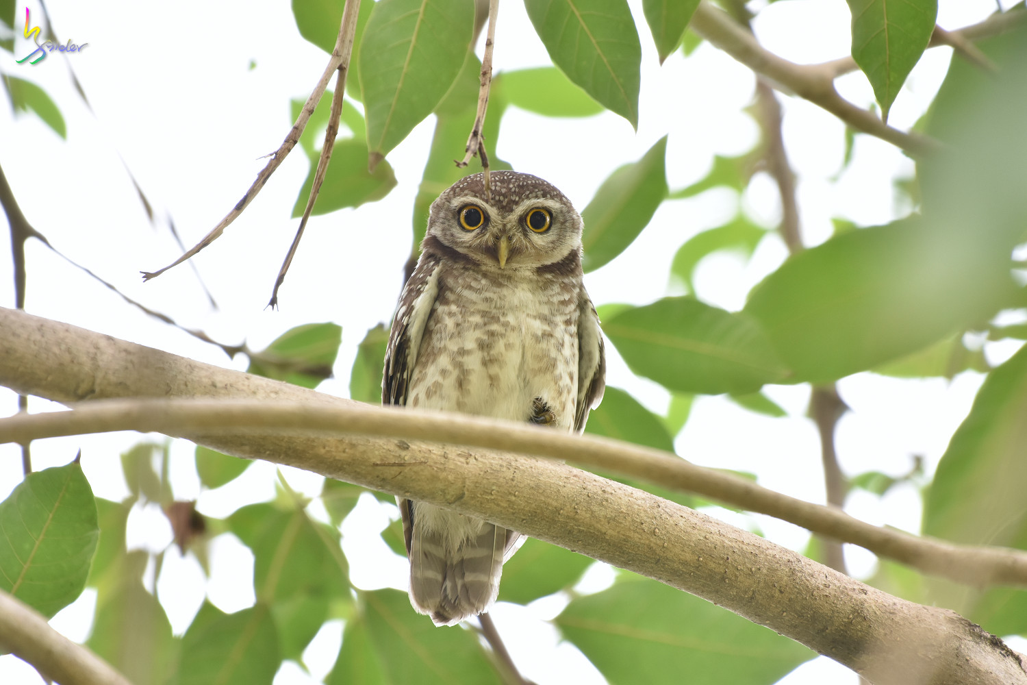 Spotted_Owlet_2370