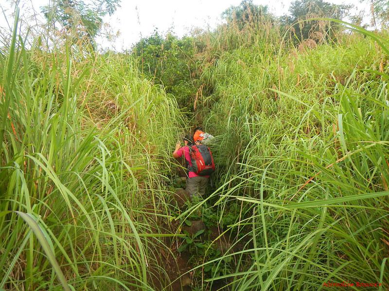 Wild cogon grass