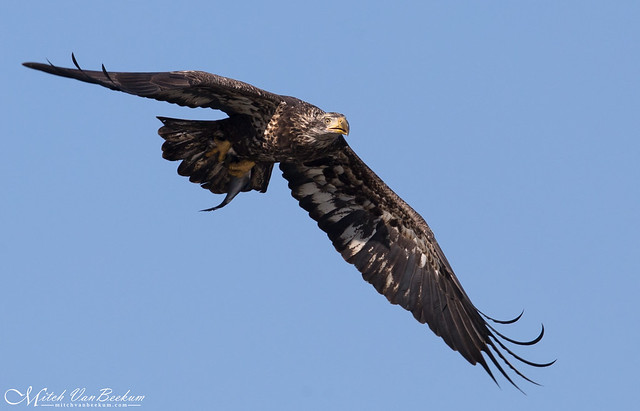 Immature Bald Eagle with Fish (Explored)
