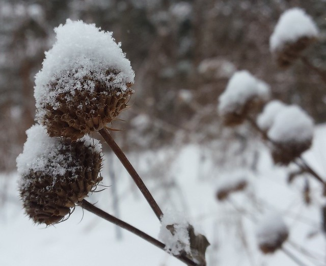 two seedheads leaning to the left with white snow hats, with half a dozen seedheads out of focus on the right