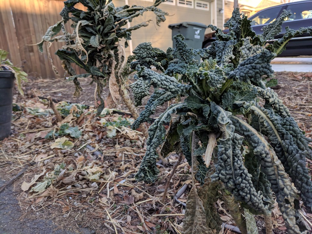 Sad winter kale