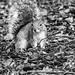 Grey squirrel 28 Jan 18 2