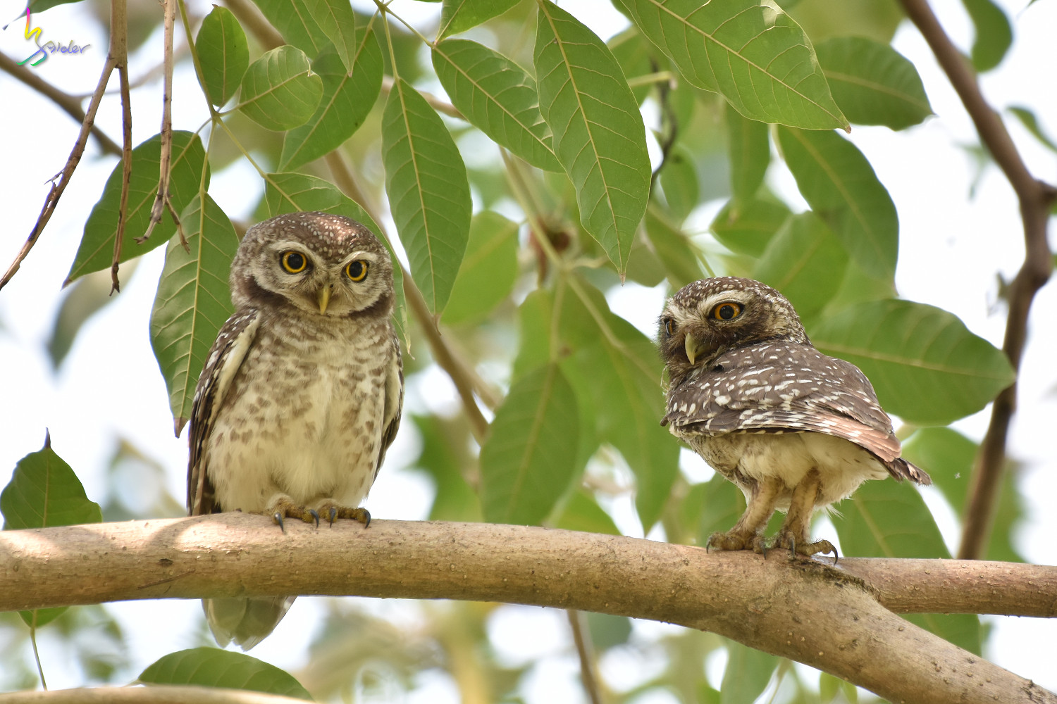 Spotted_Owlet_4443