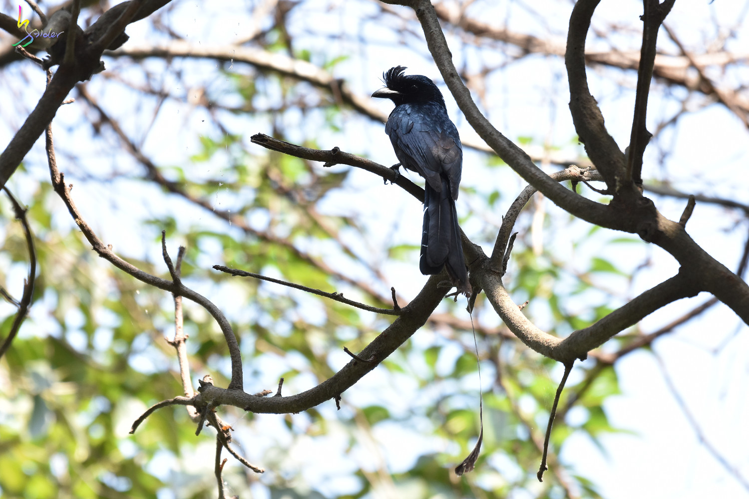 Greater_Racket-tailed_Drongo_2736