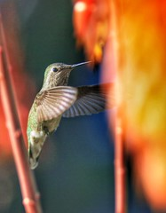 Anna's #Hummingbird