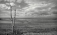 Canon EOS 60D - Mono - Beach Tree with a view to Wales