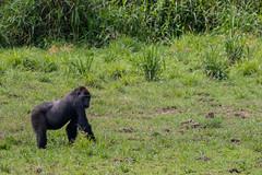 Western lowland gorilla, Lobéké National Park, Cameroon
