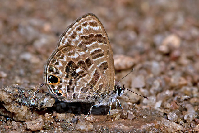 Prosotas aluta - the Barred Lineblue