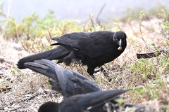 White-winged Chough  ( feeding time )