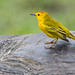 yellow warbler atop the back of a Galápagos tortoise by Matthew Almon Roth
