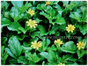 Sphagneticola trilobata (Singapore Daisy, Creeping-oxeye, Trailing Daisy, Wedelia, Yellow Creeping Daisy, Rabbit's Paw)