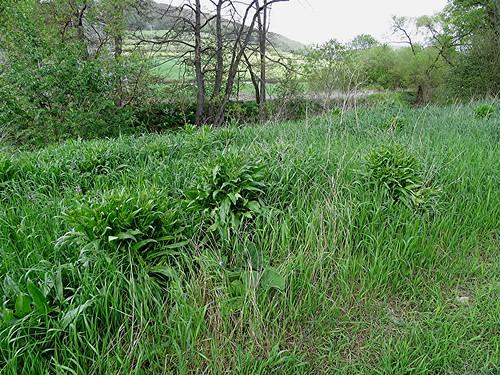 Orientalisches Zackenschötchen - Bunias orientalis, NGID1956251317