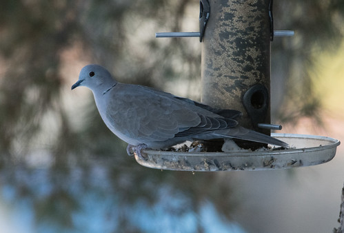 dove_on_feeder-20180121-100