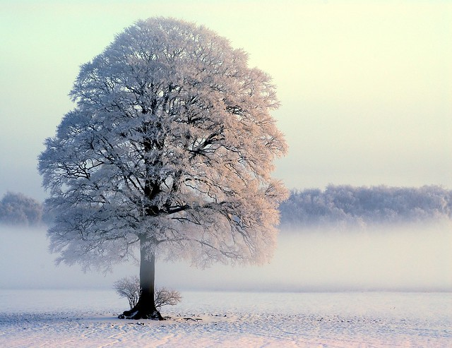 Snow blessed oak      Cheshire UK