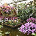 Kew Orchids - 2