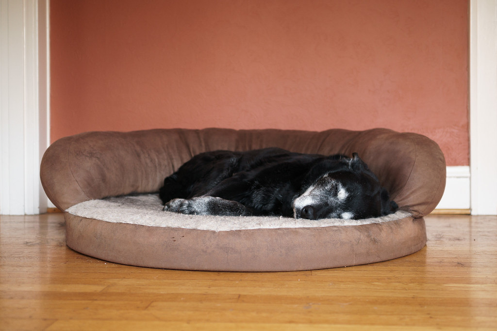 Our dog Ellie is curled up asleep in her dog bed