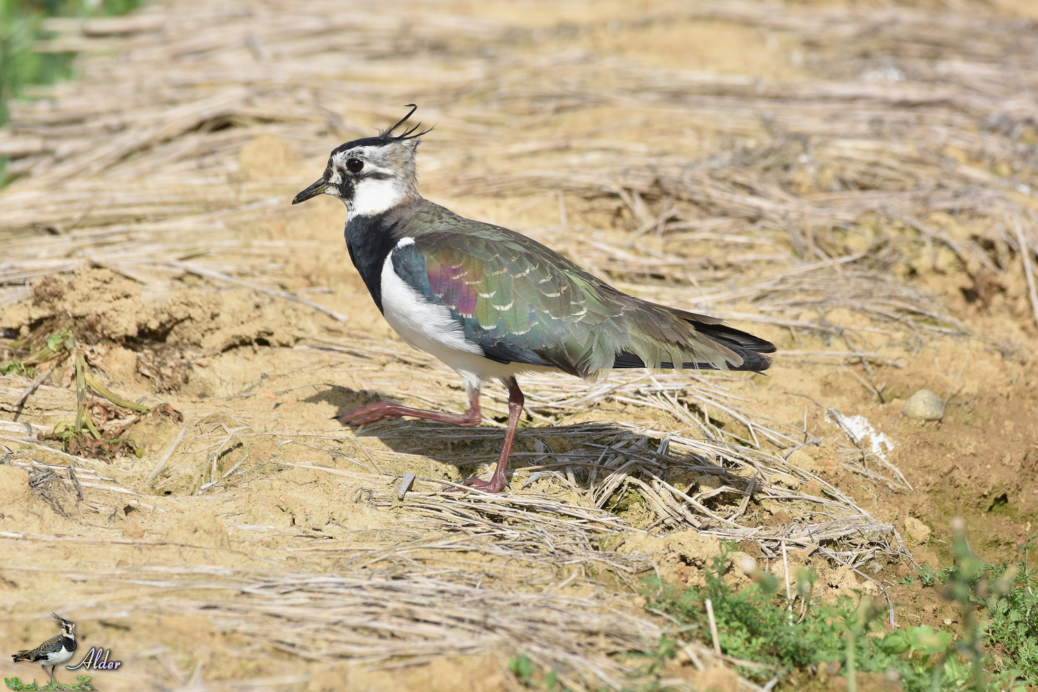 Northern_Lapwing_8078