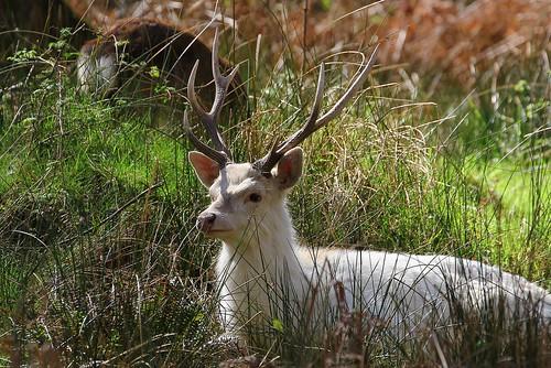 White Sika Deer - Cervus nippon - Arne RSPB Dorset -020417 (37) - Explored
