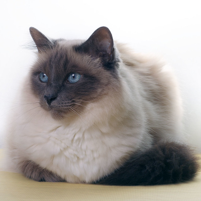 flickr discussing the color of our cats la couleur de nos chats in birman cats lovers. Black Bedroom Furniture Sets. Home Design Ideas