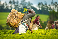 Tea Value Chain