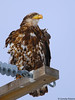 Juvenile Bald Eagle by Ceredig Roberts