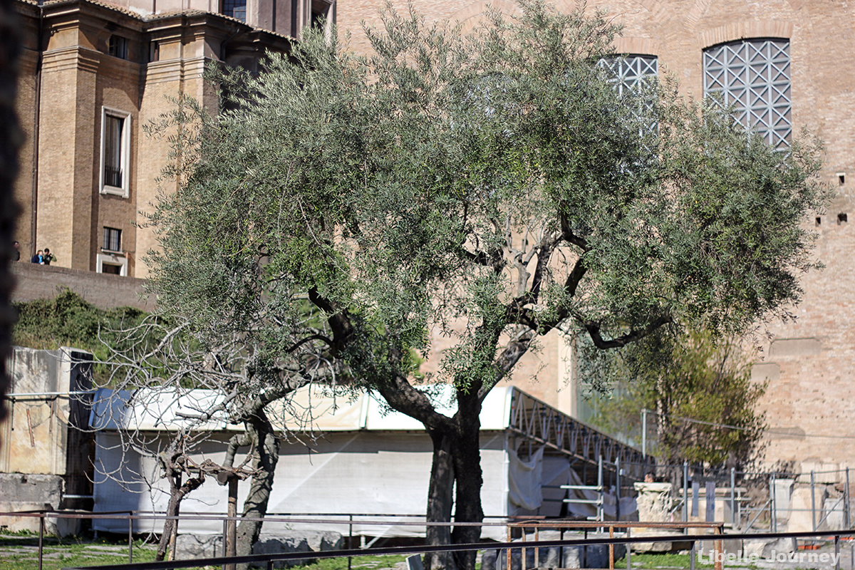Trees on Roman Forum