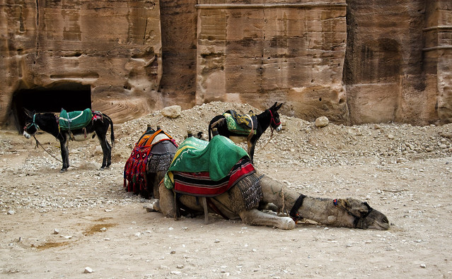 Jordan:  Dog-Tired Camel