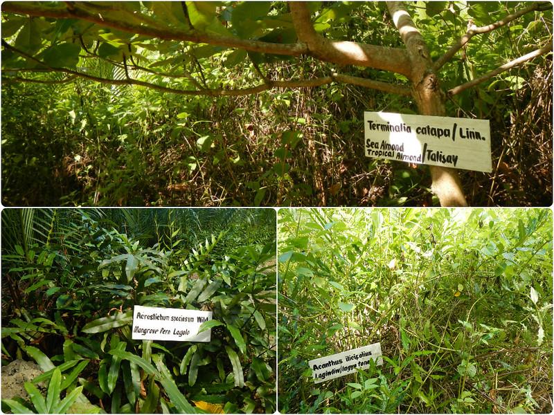 Aloguinsan_plants