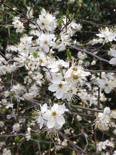 Bear's Plum (Prunus ursina)