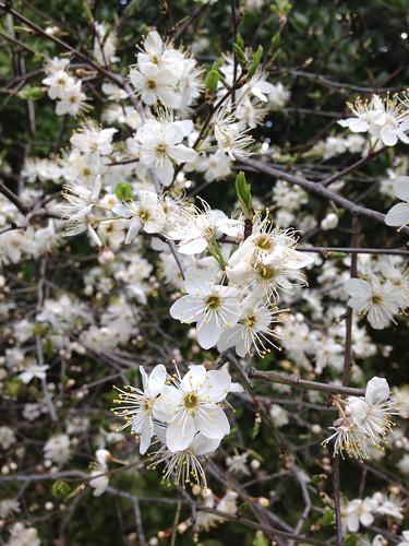 Bear's Plum (Prunus ursina)