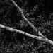 Branch (Stanley Burn Woods)