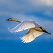 Trumpeter Swan ONE by Martin Smith - Having the Time of my Life
