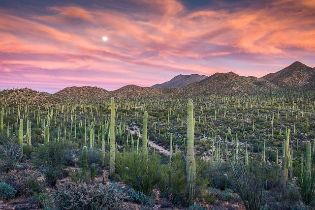 Saguaro Moonrise