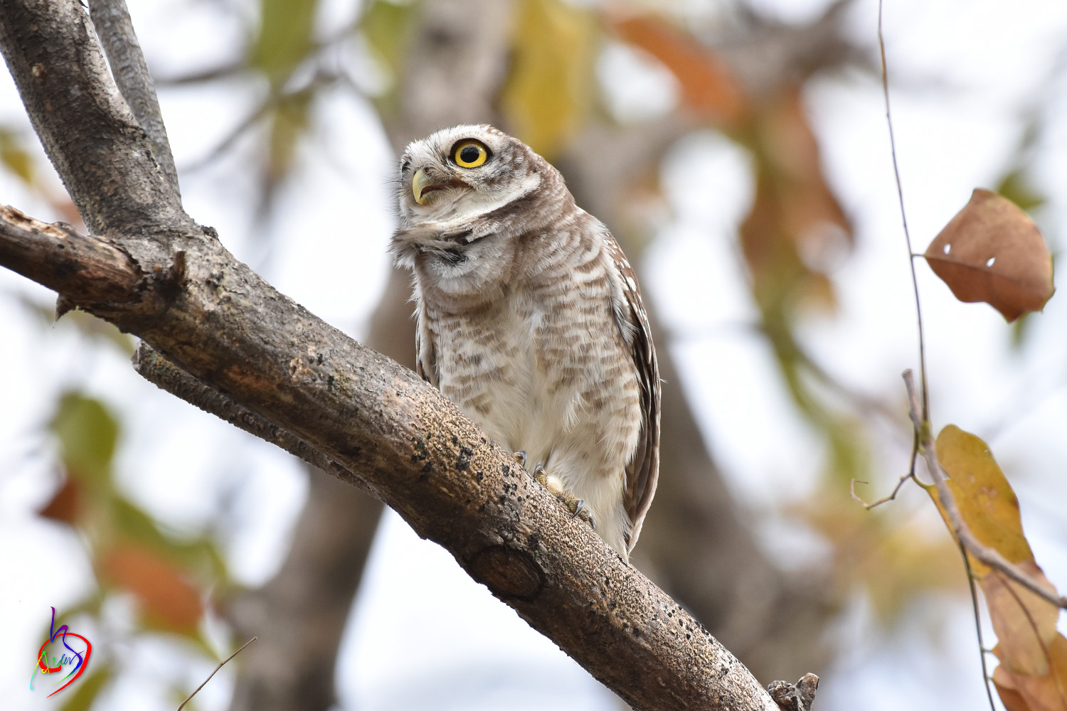 Spotted_Owlet_3808