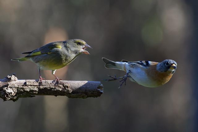 Verdier d'Europe  (Carduelis chloris - European Greenfinch)  et  Pinson du Nord  (Fringilla montifringilla - Brambling)