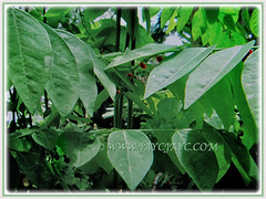 Evergreen and petiolate and oval leaves pf Sauropus androgynus (Star Gooseberry, Sweet Leaf Bush, Sabah Vegetable, Katuk, Sayur Manis in Malay), March 7 2018